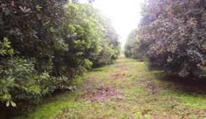 g5 An established macadamia nuts plantation at Chipunga Farm